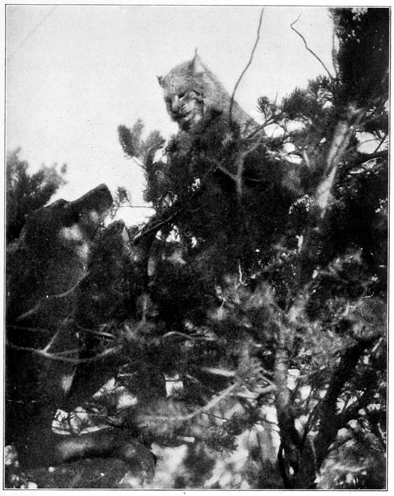 Turk and a Bobcat in Top of a Pinyon