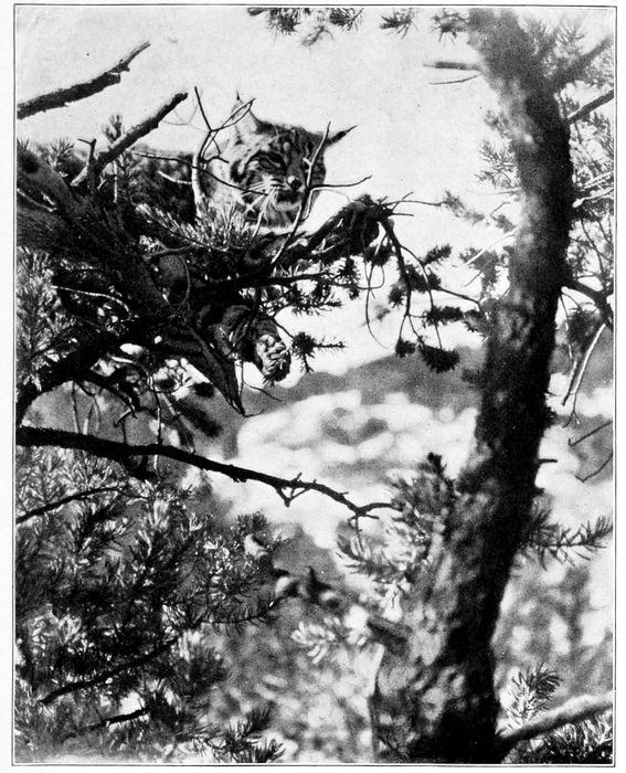 Bobcat in Pinyon