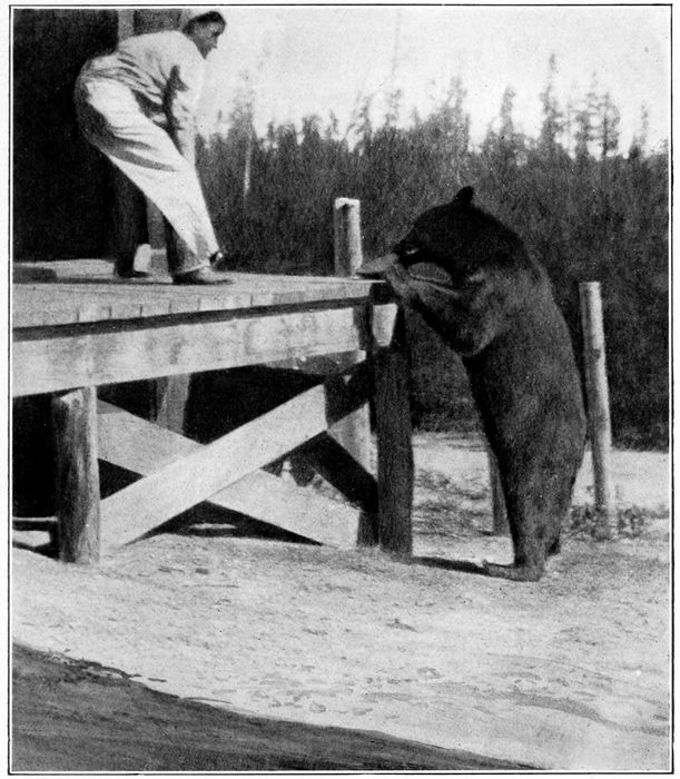 Grizzly Bear and Cook